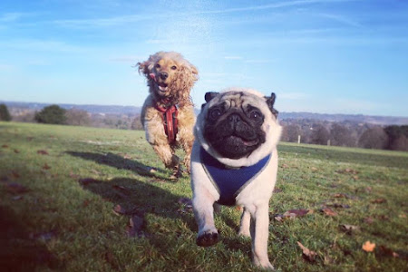 weekly dog walk East malling | Pug walker | Mote Park