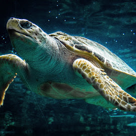 Sea turtle  by Eden Meyer - Animals Sea Creatures ( sea, turtle, animal )
