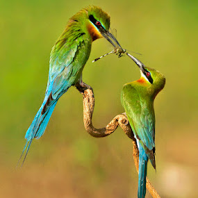 BEE EATER by Subramanniyan Mani - Animals Birds