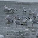 Thayer's Gull?