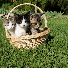 3 in a Basket by Catherine Trudeau - Animals - Cats Kittens