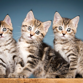 Calm before the storm by Eric Christensen - Animals - Cats Kittens ( blue, trio, kittens, cute, tabby )