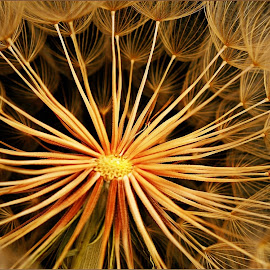 Shades of gold by Kittie Groenewald - Nature Up Close Other plants