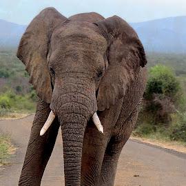 Elephant at Marakele Nature Reseve by Danette de Klerk - Animals Other Mammals ( nature, mammal, elephant, photography, wildlife )