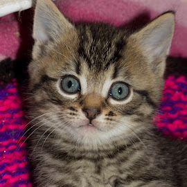 Tabby kitten by Peter Brown - Animals - Cats Kittens ( kitten, cat, tabby cat, kitty, tabby, portrait )