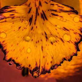Petals & Drops by Vignesh Ramachandran - Nature Up Close Leaves & Grasses ( macro, macro photography, petals, waterdrops, flower )