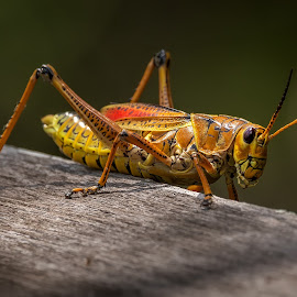 Eastern Lubber Grasshopper by Dbart ... - Animals Insects & Spiders ( small, insect, grasshopper, colorful,  )