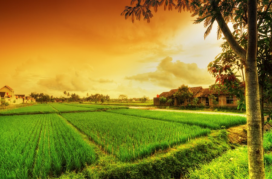 Rice Field in My Village by Wuryanto Hadiwijaya - Landscapes Prairies, Meadows & Fields ( field, rice field, village, evening )