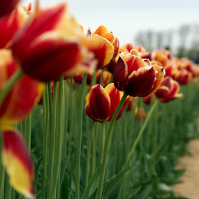 Tulip Garden by Ram Seth - Flowers Flower Gardens ( beauty, nature, garden, tulip, flower )