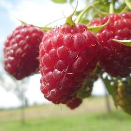 Red raspberries by Alba Nix - Food & Drink Fruits & Vegetables ( fruit, red, summer, garden, raspberries )