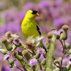 American Goldfinch  by Nick Swan - Animals Birds ( nature, thistles, american goldfinch, wildlife, bc )