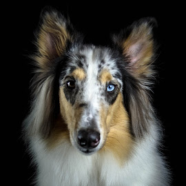 Eye's of Truth by Christina Smith - Animals - Dogs Portraits ( collie, collie (rough), dog portrait, dog, twisted images photography, eyes )