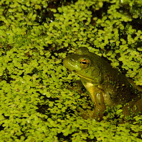 Frog at the pond by Peggy LaFlesh - Animals Amphibians ( frog, green, pond )