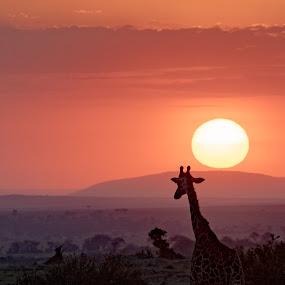 Serengeti Sunrise by VAM Photography - Animals Other Mammals ( nature, serengeti, giraffe, sunrise, africa, landscape,  )