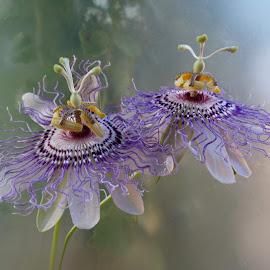 Pasion  by Ilona Stefan - Flowers Flower Gardens ( delicate, lace, violet )