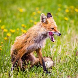Red Fox Female by Dave Lipchen - Animals Other Mammals ( red fox female )