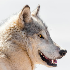 Gray Wolf-25.jpg