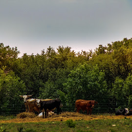 Farm by Kayla House - Landscapes Prairies, Meadows & Fields ( farm, nature, cow, trees, farm cows, landscape, cows,  )