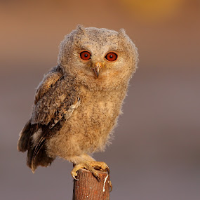 scops owl by Zahoor Salmi - Animals Birds ( photos, animals, nature, birds, salmi )