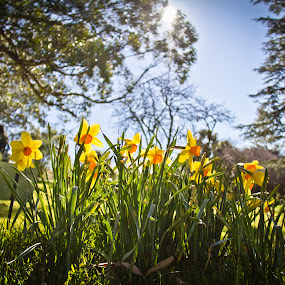 Daffodil garden by Bronwyn Holmes - Nature Up Close Gardens & Produce