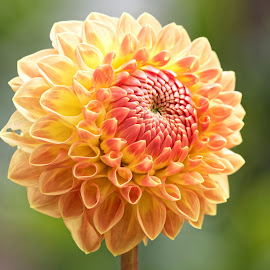 Dahlia 9875 by Raphael RaCcoon - Flowers Single Flower