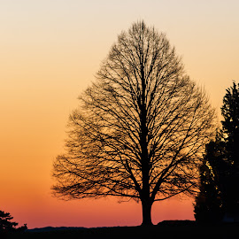 Tree at dawn by Carl Albro - Nature Up Close Trees & Bushes ( orange, dawn, nature, tree )
