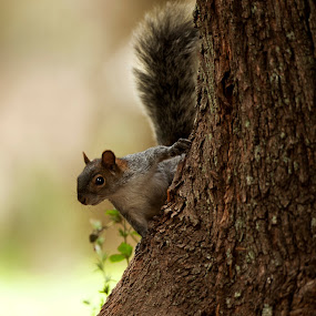 Squirrel and tree by Cristobal Garciaferro Rubio - Animals Other ( tree, forest, bokeh, squirrel, branches )