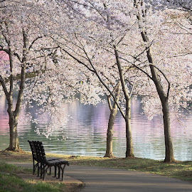 Cherry blossoms at the Tadal Basin by Mike Lennett - City,  Street & Park  City Parks ( water, cherry, reflection, bench, park, color, path, solitude, pink, washington dc, tidal basin, blossoms,  )