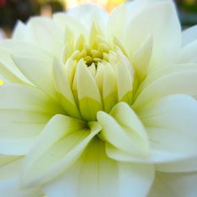 White Dahlia by Viive Selg - Flowers Single Flower (  )