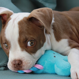 puppy love by Ted Ramirez - Animals - Dogs Puppies (  )