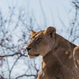 The Lookout by Tom Dunlap - Animals Lions, Tigers & Big Cats ( lion )