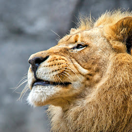 by Carol Plummer - Animals Lions, Tigers & Big Cats ( lion, male, close up )