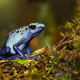Azuréus sur mousse by Gérard CHATENET - Animals Amphibians