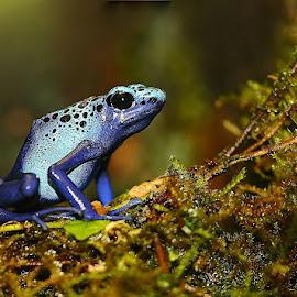 Azuréus sur mousse by Gérard CHATENET - Animals Amphibians (  )