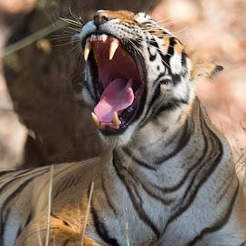 Tiger , a summerish yawn  by PC Meena - Animals Lions, Tigers & Big Cats