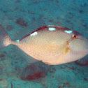 Starry Triggerfish