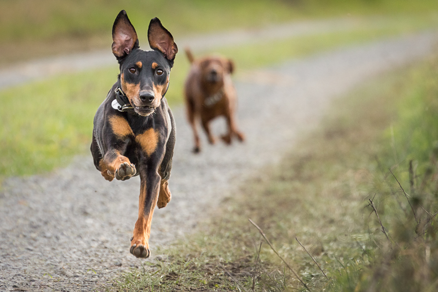 A flying Pascha by Stefan Tiesing - Animals - Dogs Running