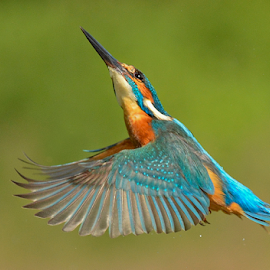 Kingfisher  by Keith Bannister - Animals Birds ( flight, nature, kingfisher, wildlife, birds )