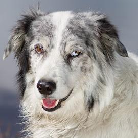 by Gus Laursen - Animals - Dogs Portraits ( australian shepherd, dog, outside, portrait )