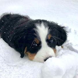 Lucy in the Snow by Barbara Brock - Animals - Dogs Puppies ( cute puppy, dog in the snow, bernese mountain dog, puppy, dog )