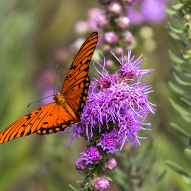 Orange Butterfly by Kathy Suttles - Animals Insects & Spiders