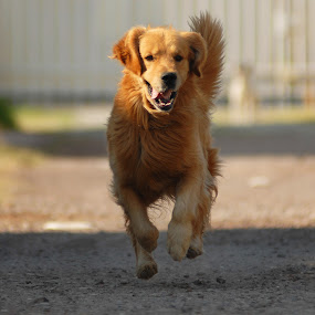Golden running by Cristobal Garciaferro Rubio - Animals - Dogs Running ( flying, retriever, pwcmovinganimals-dq, golden, golden retriever )
