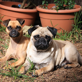 Cheese by Geoffrey Wols - Animals - Dogs Portraits ( grass, pot plants, jug, dirt, dog, posing, outside, pug )