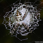 Silver Argiope or Writing Spider
