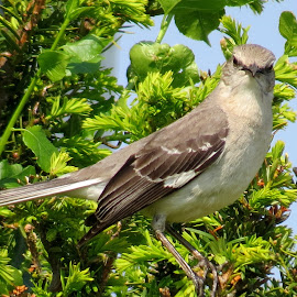 Mockingbird by Erika  Kiley - Novices Only Wildlife ( bird, tree, gray, spring, mockingbird )