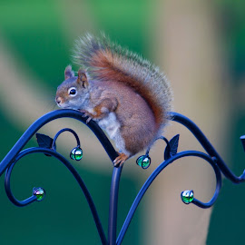 Hanging out by Cora Westermann - Animals Other Mammals ( squirell, nature, red squirell )