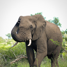 Testing the air by Hannes van Rooyen - Animals Other Mammals ( elehant, tusks, bull, mamals,  )