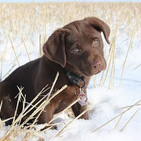 by Liz Huddleston - Animals - Dogs Puppies ( labrador retriever, montana, snow, puppy, labrador, dog, chocolate lab, portrait, puppy eyes,  )