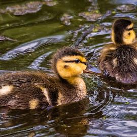Mallard Ducklings by Dave Lipchen - Animals Birds ( mallard, ducks )