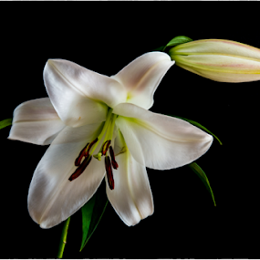 Lily by John Klingel - Flowers Single Flower ( lily, lily bud, focus stacked )